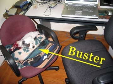Buster the poodle sits in one of two office chairs.