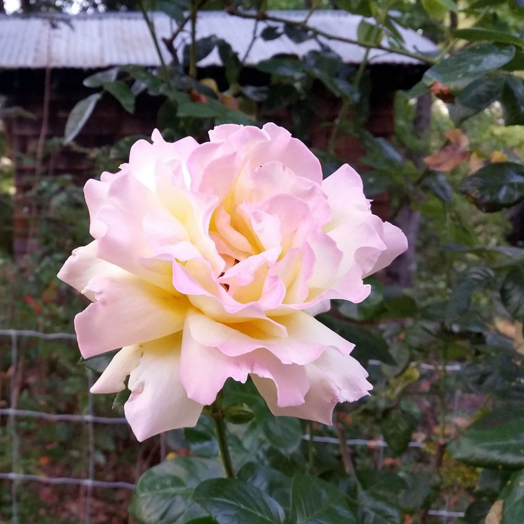 Close-up photo of yellow/pink pastel rose in a garden